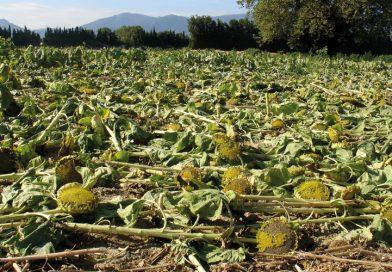 """Procès OGM : mais, parce-qu'il y a un """"mais""""… [par Yann Kerveno]"""