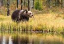 Ours : un coup en traître pour les éleveurs [par Yann Kerveno]