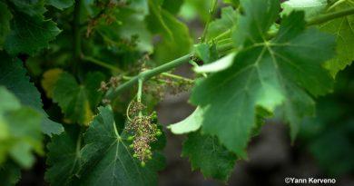 Viticulture P.-O. : et maintenant la coulure! [par Yann Kerveno]