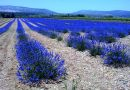 Plantes aromatiques : premier salon régional à Rivesaltes [par Yann Kerveno]